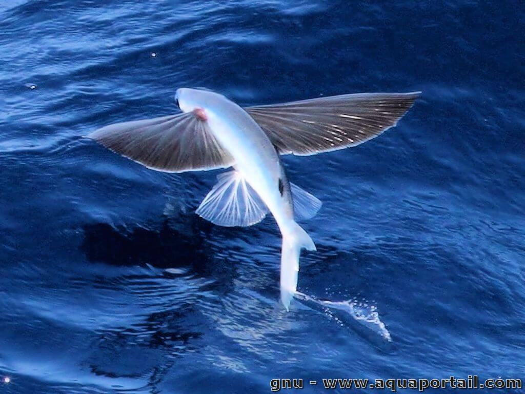 Arrrumpff donne des ailes : poisson volant